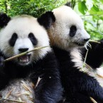 Just because it's Friday... Two pandas chews bamboo shoots  at Chengdu Panda Base in Chengdu city, southwest China. (Wang wen/AP/Press Association Images)