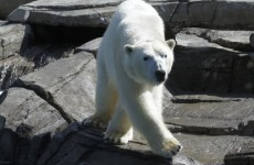 Polar bear ancestry traced back to… Ireland?