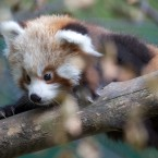 Red pandas are endangered in the wild but Dublin Zoo's new arrivals are well protected by their mother, Angelina. 
