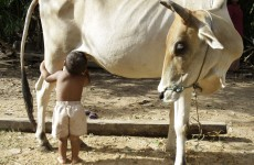Photos: Cambodian toddler suckles from cow after parents leave village