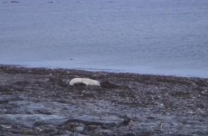 Webcam brings polar bears into your living room