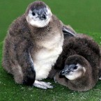 Two blackfooted penguin chicks snuggle together on a damp afternoon at London Zoo. Awh! (Press Association)