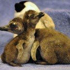 ZSL London Zoo's most recent arrivals, African black footed penguins Primrose (right) and Regents, named after local landmarks Primrose Hill and Regents Park.
