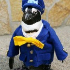 Too cute? Haruka, an African penguin who will serve as a ''conductor'' for Ichibata Electric Railway Co. in Shimane Prefecture, Japan (Photo provided by Matsue Vogel Park/Kyodo)