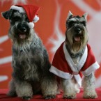 Bacchus, left, and his mate Irish, both Schnauzer dogs strike a pose for the cameras (AP Photo/Aaron Favila)