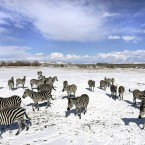 Snow joke, that's a lot of zebras right there (AP Photo/Douglas C. Pizac)