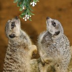 Meerkats and mistletoe