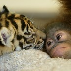 It's a tiger licking an orangutan. Bet you didn't think you'd see that when you woke up this morning...