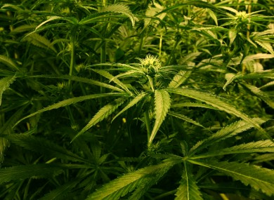 Cannabis plants (File photo)