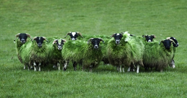 Bemused Green Sheep of the Day