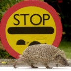 Stop! Hedgehog time.