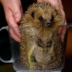 Things you shouldn't do with a hedgehog. Lesson One: Don't put them in a blender... 