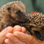 An RSPCA careworker cradles two orphaned baby hedgehogs. Yes, orphaned hedgehogs. *tear*