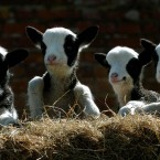 More black and white lambs, a theme emerges (Chris Radburn/PA)
