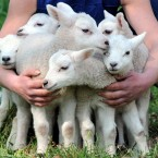 So many lambs