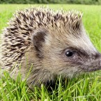 This is a German hedgehog. (AP Photo/Michael Probst)