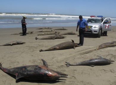 a scientist take photos of dolphin caracasses on the shore of Pimentel Beach in Chiclayo, Peru