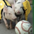 Two piglets scramble for the ball during the 'pigball' championship on the outskirts of Moscow. And no, we're not joking, such a competition exists. (AP Photo/Alexander Zemlianichenko)