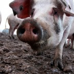 These might be pigs but this guy is so close to the camera it could be a case of the old