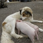 Just some piglets suckling on a dog...  (Photo: Andreja Thomas/24sata)