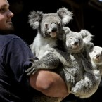 Joel Barbara, keeper at Sydney's Koala Park holds