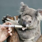 Petra the koala is given medication after nasal surgery at Sydney Wildlife World, in Sydney 2008. (AP Photo/Rob Griffith)