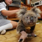 A Koala nicknamed Sam, saved from the bushfires in Gippsland, being cared for at the Mountain Ash Wildlife Centre in Rawson, Australia, 2009.(AP Photo/PA File)
