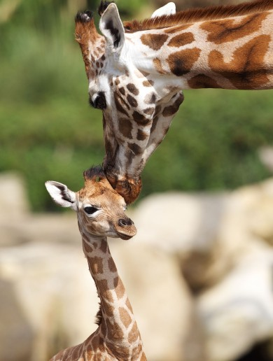 GALLERY: Dublin Zoo welcomes a new baby giraffe