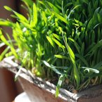Wheatgrass is a beauty queen's favourite superfood with its high levels of vitamin E, phosphorous and chlorophyll that are said to freshen breath, postpone greying of hair, prevent tooth decay, brighten skin and generally detox the body. (Kristen Taylor/Flickr)