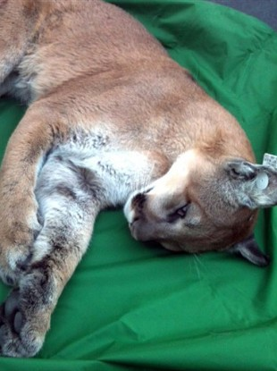 Reno Police Department photo showing the mountain lion after being tranquilised and tagged.