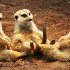 Meerkats relax under a heating light during cold temperatures in the Erfurt Zoo, central Germany earlier this year. (AP Photo/Jens Meyer)