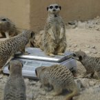 SO. MANY. MEERKATS. (Image: Rebecca Naden/PA Wire)