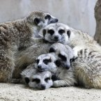Meerkats huddle together as it rains at the Dusit Zoo in Bangkok, Thailand earlier this year. (AP Photo/Sakchai Lalit)