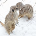 Meerkats in the snow last year. (Image: Anthony Devlin/PA Wire)