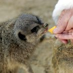 Marty the Meerkat gets an early breakfast in Dublin Zoo in 2005. (Image: Photocall Ireland)