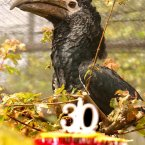 Virginia the black and white African hornbill celebrates her birthday by totally ignoring her birthday cake at London Zoo. (John Stillwell/PA Archive/Press Association Images)