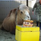 Bactrian camel Tsugaru eats his Christmas cake celebrating his assumed ''35th birthday'' at Nogeyama Zoo in Yokohama. Tsugaru, over 100 years old in human terms, is fed coenzyme Q-10. (Kyodo)