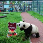 Giant Panda Hua Ao eats his 5th birthday cake at Yantai Zoo. (Photo by Chu Yang/ChinaFotoPress)