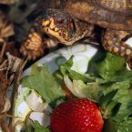 A box turtle checks a strawberry before eating it at Region 8 DEC headquarters in Avon. (AP Photo/David Duprey)