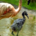 A newly hatched Flamingo chick keeping up with his mother at Edinburgh Zoo, after the first successful hatching of the species since 1997.