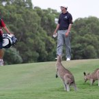 Two kangaroos watch as Australia's Anthony Summers and his caddy walk past during the first round of the Australian PGA Golf Championship on 24 November 24, 2011. (AP Photo/Tertius Pickard)