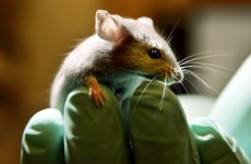 Potential infertility cure: stem cells create viable eggs in mice