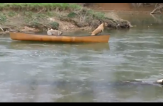 VIDEO: Dog saves other dog pals from canoe