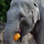 Pumpkins are kind of like apples for elephants