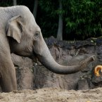 Dina, Dublin Zoo's oldest female elephant attempts to break a pumpkin with her trunk
