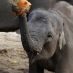 Asha, Dublin Zoo's youngest female  elephant attempts to break a pumpkin over her head as they where treated to their very own Halloween inspired pumpkin patch this morning. PRESS ASSOCIATION Photo. Picture date: Friday October 26, 2012. Photo credit should read: Niall Carson/PA Wire