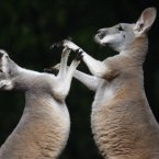 Two kangaroos fight at Hanover Zoo in 2008. (AP Photo/Axel Heimken)