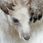 A baby kangaroo looks out from his mother in the Erfurt zoo, central Germany earlier this year. (AP Photo/Jens Meyer)