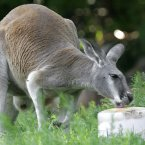 A Red Kangaroo beats the heat by licking an ice block at the Detroit Zoo in Royal Oak, Michigan in 2006. (AP Photo/Paul Sancya)
