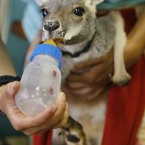 Eight-month-old male Red Kangaroo 'Hashiro' holds its keeper's arm as it is fed from a bottle at the Yokohama zoological gardens. Hashiro fell off the pouch of its mother and broke its right forefoot. (AP Photo/Itsuo Inouye)